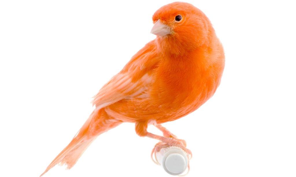Niña entrena a su pájaro para atacar a cualquiera a quien le grite